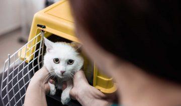 international cat transport